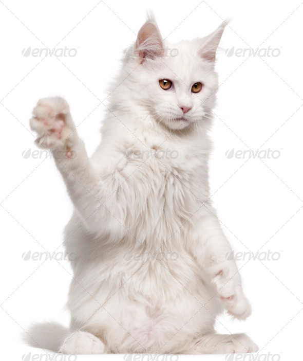 Maine Coon, 5 months old, with paw up in front of white background - Stock Photo - Images
