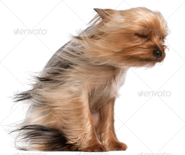 Yorkshire Terrier with hair in the wind, 1 year old, sitting in front of white background - Stock Photo - Images