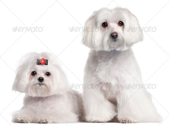 Maltese, 3 and 7 years old, in front of white background - Stock Photo - Images
