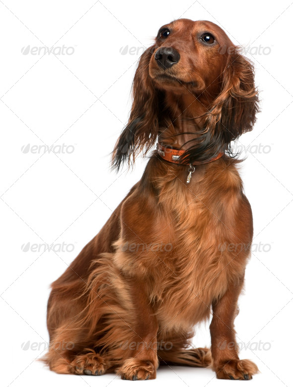 Dachshund, 2 years old, sitting in front of white background - Stock Photo - Images