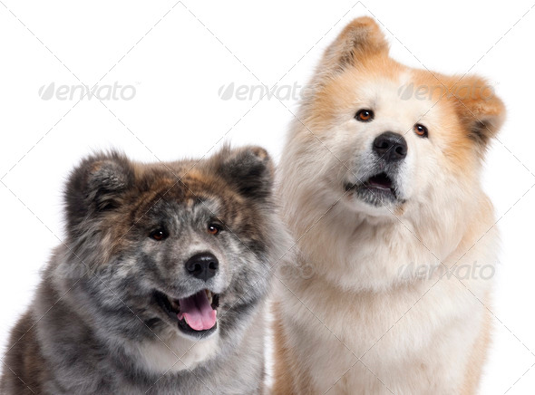Close-up of Akita Inu, 7 years old and 4 years old, in front of white background - Stock Photo - Images