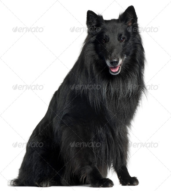 Belgian Shepherd Dog, Groenendael, 6 years old, sitting in front of white background - Stock Photo - Images