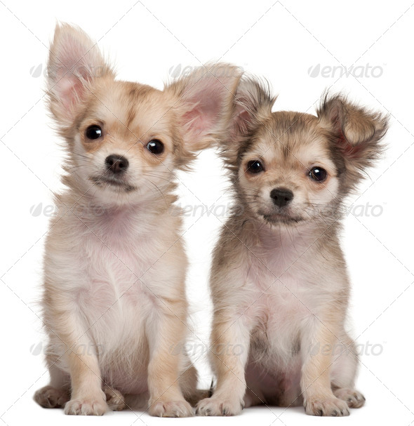 Chihuahua puppies, 3 months old, sitting in front of white background - Stock Photo - Images