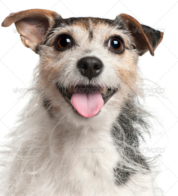 Close-up of Jack Russell Terrier, 7  years old, in front of white background - Stock Photo - Images