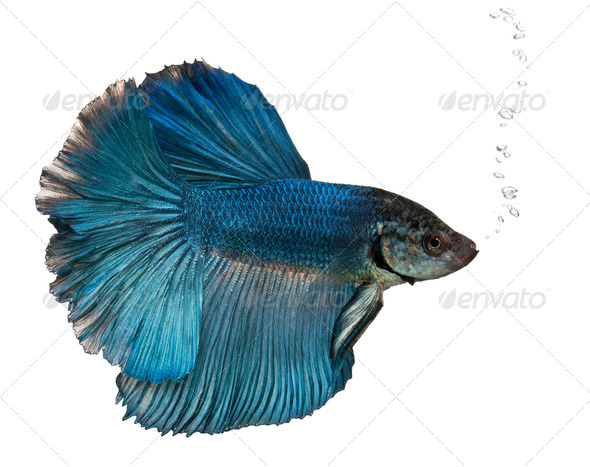 Blue Siamese fighting fish, Betta Splendens, swimming in front of white background - Stock Photo - Images