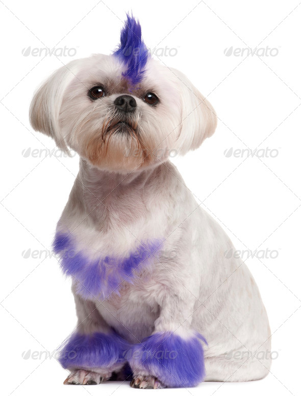Shih Tzu with purple mohawk, 2 years old, sitting in front of white background - Stock Photo - Images