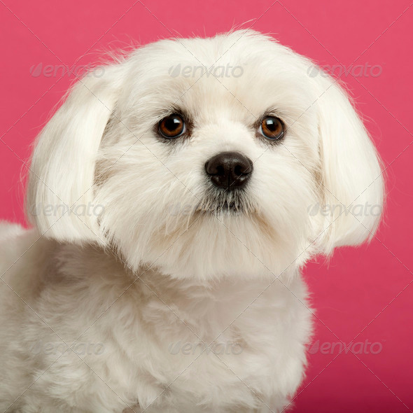 Close-up of Maltese, 2 years old, in front of pink background - Stock Photo - Images