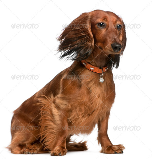 Dachshund with hair in the wind, 2 years old, sitting in front of white background - Stock Photo - Images
