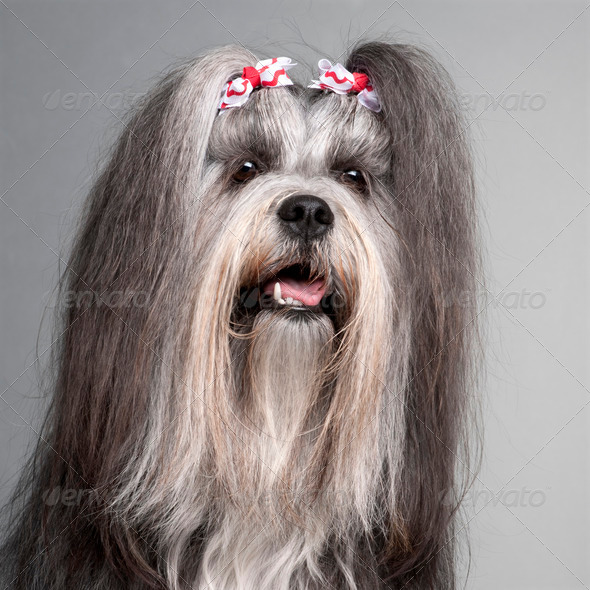 Lhasa Apso (2 years old) - Stock Photo - Images