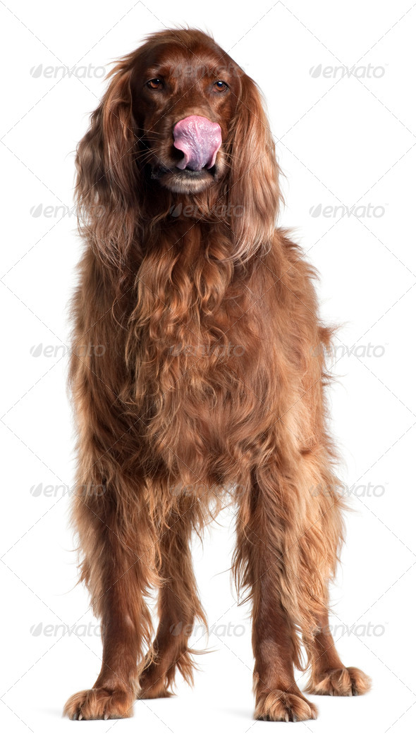 Irish Setter, 5 years old, licking his nose in front of white background - Stock Photo - Images
