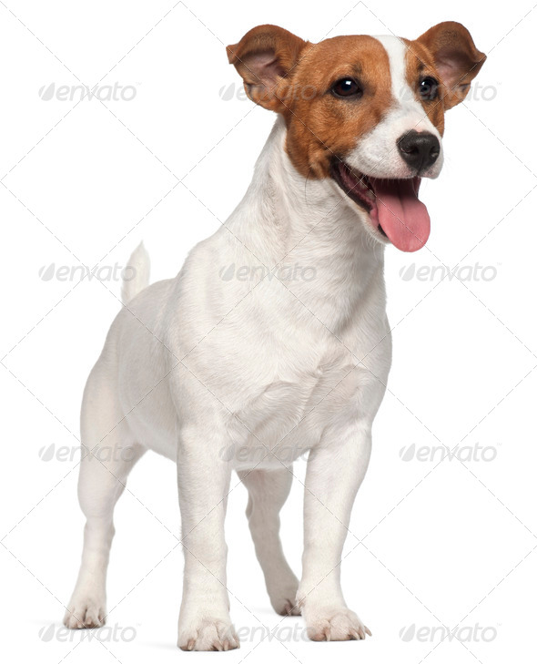 Jack Russell Terrier puppy, 6 months old, standing in front of white background - Stock Photo - Images