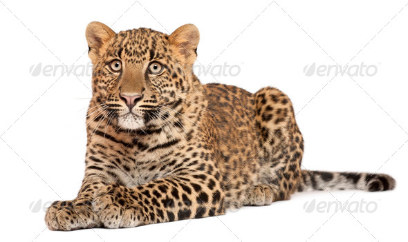 Leopard, Panthera pardus, 6 months old, lying in front of white background - Stock Photo - Images