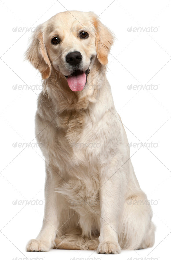 Golden Retriever, 10 months old, sitting in front of white background - Stock Photo - Images