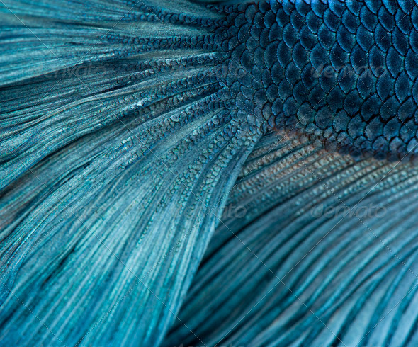 Close-up of Blue Siamese fighting fish, Betta Splendens - Stock Photo - Images