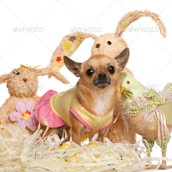 Chihuahua dressed up and standing with Easter stuffed animals in front of white background - Stock Photo - Images