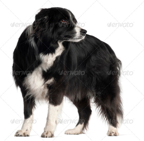 Border Collie, 9 years old, standing in front of white background - Stock Photo - Images