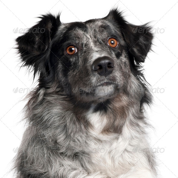 Close-up of Border Collie, 2 years old, in front of white background - Stock Photo - Images