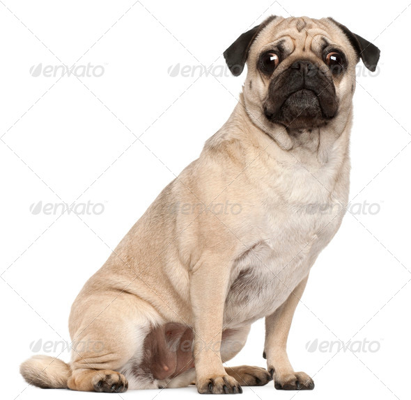 Pug, 3 years old, sitting in front of white background - Stock Photo - Images
