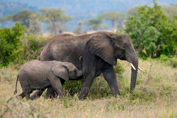 Elephants in Serengeti National Park, Tanzania, Africa - Stock Photo - Images