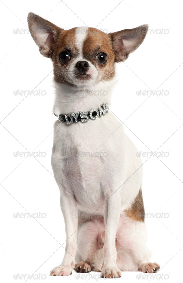 Chihuahua wearing diamond name tag collar sitting in front of white background - Stock Photo - Images