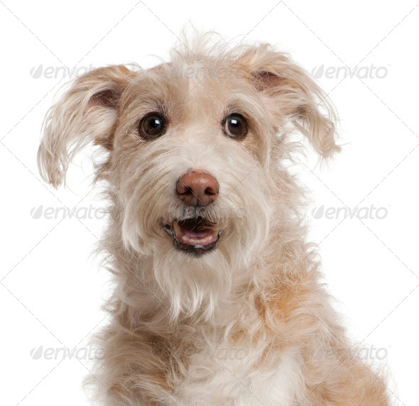 Close-up of Mixed-breed dog, 14 years old, sitting in front of white background - Stock Photo - Images