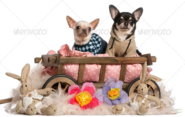 Chihuahuas sitting in dog bed wagon with stuffed animals in front of white background - Stock Photo - Images