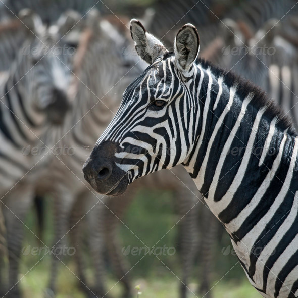 Zebra in Serengeti National Park, Tanzania, Africa - Stock Photo - Images