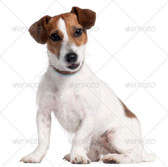 Golden Retriever, 5 years old, sitting in front of white background - Stock Photo - Images
