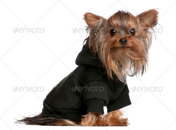 Yorkshire Terrier wearing black sweatshirt hoodie, 1 year old, in front of white background - Stock Photo - Images