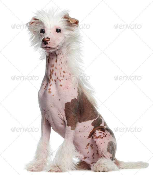 Chinese Crested dog, 4 months old, sitting in front of white background - Stock Photo - Images