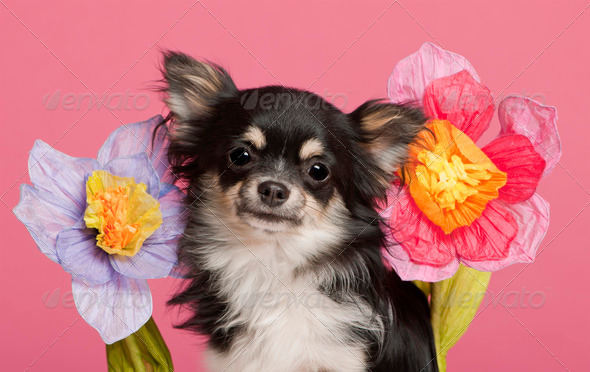 Chihuahua (5 years old) - Stock Photo - Images