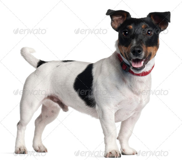 Jack Russell Terrier, 1 year old, standing in front of white background - Stock Photo - Images