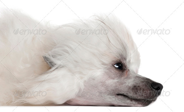 Close-up of Chinese Crested Dog lying in front of white background - Stock Photo - Images