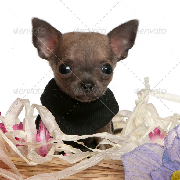 Close-up of Chihuahua puppy sitting in Easter basket with flowers in front of white background - Stock Photo - Images