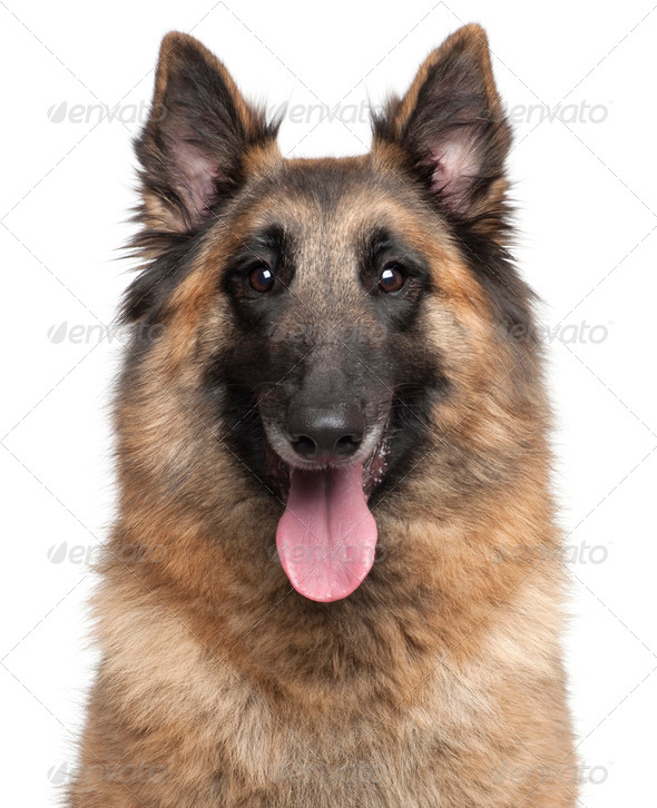 Close-up of Belgian Shepherd, Tervuren, 4 years old, in front of white background - Stock Photo - Images