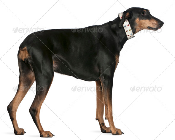 Doberman Pinscher, 9 years old, standing in front of white background - Stock Photo - Images