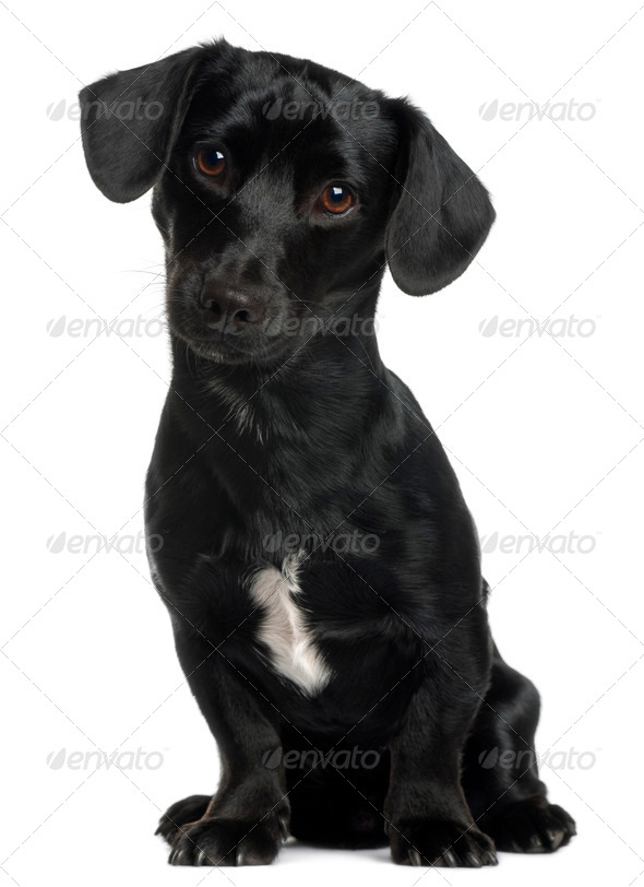 Dachshund, 8 months old, sitting in front of white background - Stock Photo - Images