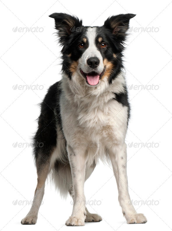 Border Collie, 5 and a half years old, standing in front of white background - Stock Photo - Images