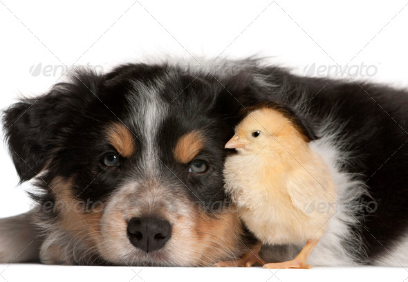Border Collie puppy, 6 weeks old, playing with chick in front of white background - Stock Photo - Images