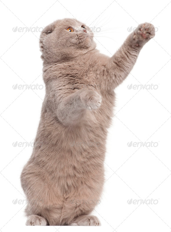 Scottish Fold cat, 9 and a half months old, standing up and pawing in front of white background - Stock Photo - Images