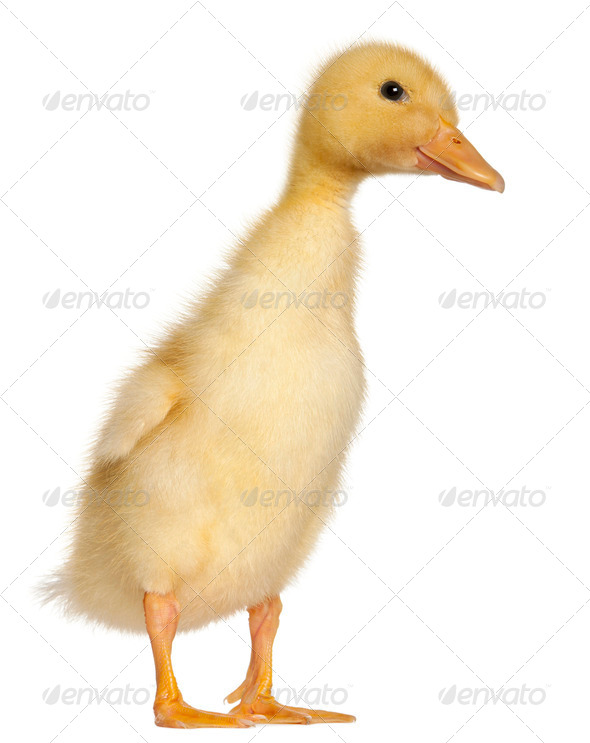 Duckling, 1 week old, standing in front of white background - Stock Photo - Images