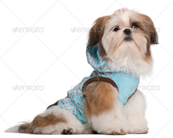 Shih Tzu puppy, 5 months old, dressed up and sitting in front of white background - Stock Photo - Images