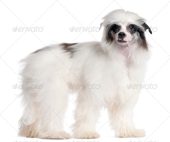 Chinese Crested Dog, 7 months old, standing in front of white background - Stock Photo - Images