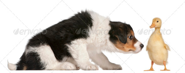 Border Collie puppy, 6 weeks old, playing with a duckling, 1 week old, in front of white background - Stock Photo - Images