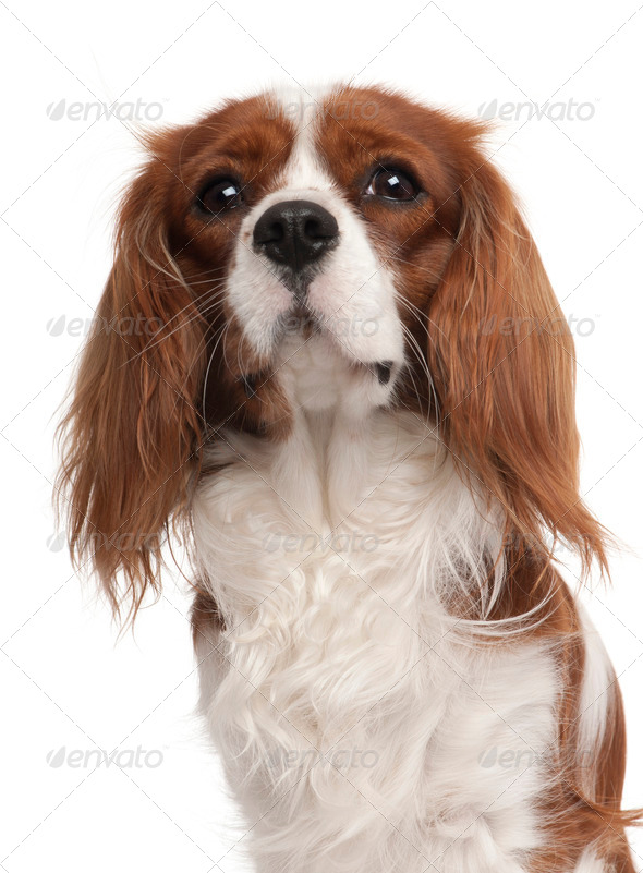 Close-up of Cavalier King Charles Spaniel, 1 year old, in front of white background - Stock Photo - Images