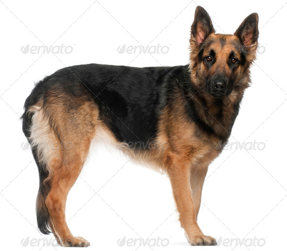 German Shepherd Dog, 2 years old, standing in front of white background - Stock Photo - Images