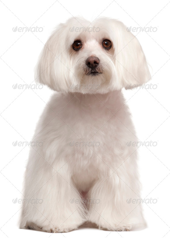 Maltese dog sitting in front of white background - Stock Photo - Images