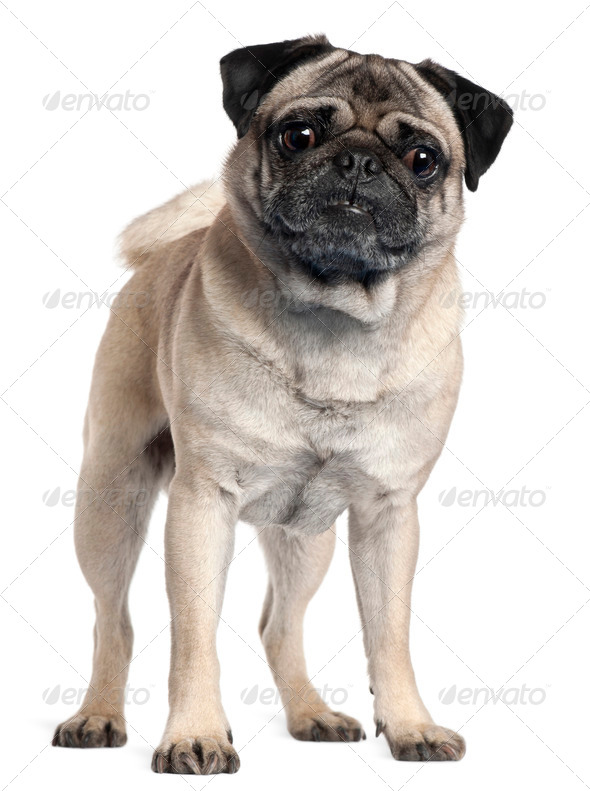 Pug, 2 and a half years old, standing in front of white background - Stock Photo - Images
