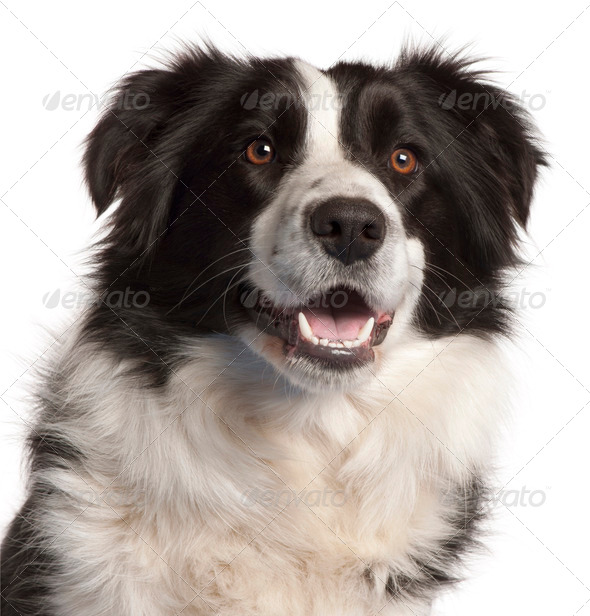 Close-up of Border Collie, 14 months old, in front of white background - Stock Photo - Images