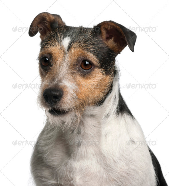 Close-up of Jack Russell Terrier, 4 years old, in front of white background - Stock Photo - Images